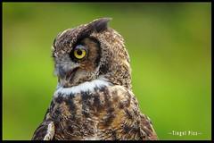 Eule - Portrait (tingel79) Tags: birds gefieder federn vogel animaleye animal sony natur nature outdoor photographie photography photograph day eule