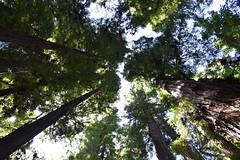 Cathedral of Nature (Ian E. Abbott) Tags: lookingup talltreesto sky henrycowellredwoodsstatepark cowellredwoods california felton stateparks redwoodtrees redwoods forest