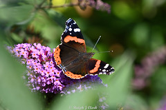 Buddleia Beauty (Ralph J Clark) Tags: redadmiral buddleia autumn butterfly nikon200500mmf56