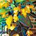 yellow begonias......2019-09-05