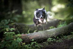 36/52 Perfect Day (JJFET) Tags: border collie dog sheepdog paddy mist elk herding 36 52 weeks for dogs
