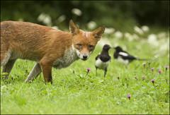 The Old Boy (Craig 2112) Tags: red fox vulpesvulpes wild mammal essex
