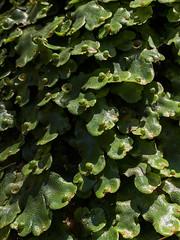 Umbrella liverwort (Marchantia polymorpha) ([S u m m i t] s c a p e) Tags: liverwort jamisonvalley ubmbc marchantiapolymorpha bluemountains sublimepoint bushwalking umbrellaliverwort newsouthwales australia