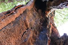 Survivor (Ian E. Abbott) Tags: henrycowellredwoodsstatepark cowellredwoods california felton stateparks redwoodtrees redwoods forest