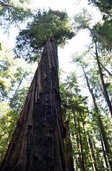 Majestic Tree (1) (Ian E. Abbott) Tags: henrycowellredwoodsstatepark cowellredwoods california felton stateparks redwoodtrees redwoods forest