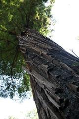 Majestic Tree (2) (Ian E. Abbott) Tags: henrycowellredwoodsstatepark cowellredwoods california felton stateparks redwoodtrees redwoods forest