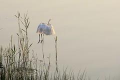 Décollage! / Take off! (Pentax_clic) Tags: imgp3588 aigrette oiseau faune juillet 2019 robertwarren vaudreuil quebec pentax kr