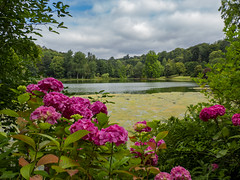 Lake View across Pink Hydrangeas (Ian M Bentley) Tags: stourhead nationaltrust riverstour mere wiltshire england uk europe hydrangea pinkhydrangeas refections colour color beautiiful magnificent peaceful wonderful view omd em1ii zuikolens zuiko12200 12200mm zuiko12200mm olympus12200mm 24400mm wideangle megazoom telephoto zoomlens m43 microfourthirds outdoor sky cloud pond lake water reflection leaves woodland blooming bluesky august tranquil classical landscape gardens summer summercolors summercolours red pink green blue brown
