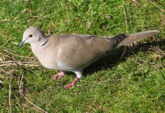 Collared Dove 240219 (2) (F) (Richard Collier - Wildlife and Travel Photography) Tags: birds british britishbirds wildlife naturalhistory nature collareddove