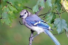 Juvenile Blue Jay (Anne Ahearne) Tags: wild bird animal nature wildlife maple leaves tree closeup songbird birdwatching bluejay juvenille juvenile
