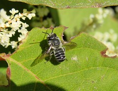 Leafcutter Bee (mcnod) Tags: mcnod bee leafcutter megachile knotweed bwibiketrail august 2019