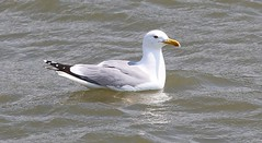 Yellow Legged Gull 150518 (Richard Collier - Wildlife and Travel Photography) Tags: birds british britishbirds wildlife naturalhistory nature yellowleggedgull
