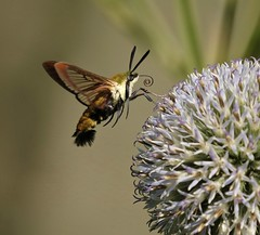 The Impersonator (Slow Turning) Tags: hemaristhysbe hummingbirdclearwing moth insect flying flight foraging forage feeding flower blossom globethistle echinops summer southernontario canada