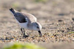 Sanderling (Rajiv Lather) Tags: vögel vogelstand birds birding birder birdwatching india indian aves outside nature wildlife avifauna avian sand water wader image pic photo photograph bokeh gravel