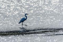 DSC_3522.bjpg (Maggggie) Tags: bokeh bird lake horton water walking take aim nature great egret