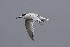 sandwich tern (DODO 1959) Tags: wildlife sandwichtern avian animal nature fauna flight outdoor seabird canon 7dmk2 100400mmmk2 wales carmarthenshire pembreyharbour