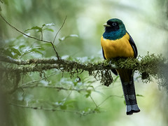 Black-throated Trogon (nickathanas) Tags: trogonidae blackthroatedtrogon trogonrufus