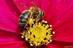 ~~ L' Abeille en plein Coeur ~~ (Joélisa) Tags: août2019 abeille insecte fleur cosmos pollen poème