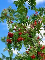 Rowanberries (Zunkkis) Tags: berries autumn rowanberries