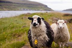 Friendly Sheep (GlobalGoebel) Tags: 70200 canon5dmarkii faroeislands travelphotography faeroerne faroe foroyar islands travel eysturoy sheep canoneos5dmarkii 70200mm canonef70200mmf28lisusm