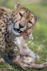 Cheetah eating chicken, again (Tambako the Jaguar) Tags: cheetah big wild cat eating chicken hen meat food feathers lying resging portrait face grass basel zoo zolli switerland nikon d850