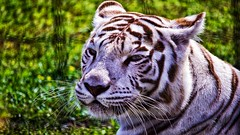 White Tiger (Bob's Digital Eye 2) Tags: aug2019 bobsdigitaleye2 canon canonefs55250mmf456isstm safarinorth whitetiger tiger bigcat animal depthoffield bokeh flicker flickr