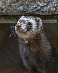 Weasel (AChucksEyeView) Tags: shalom zoo wild life animal fur nature weasel