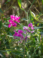 Tennessee Valley-1750487.jpg (Ginny Winblad) Tags: sweetpea tennesseevalley