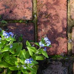 Spring 2019 (graeme37) Tags: flowers spring garden forgetmenot