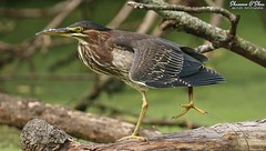 Tripod (Shannon Rose O'Shea) Tags: shannonroseoshea shannonosheawildlifephotography shannonoshea shannon greenheron heron bird beak feathers wings yelloweye yellowlegs birdyfeet skinnylegs longtoes branches duckweed bokeh butoridesvirescens wildwoodlake harrisburg pennsylvania dauphincounty nature wildlife waterfowl tripod outdoors outdoor outside colorful colourful colors colours camera art photo photography photograph wild wildlifephotography wildlifephotographer wildlifephotograph femalephotographer girlphotographer womanphotographer shootlikeagirl shootwithacamera throughherlens canon canoneos80d canon80d canon100400mm14556lisiiusm eos80d eos 80d 80dbird canon80d100400mmusmii 2019 8357 closeup close canongirl justagirlwithacamera claws