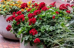 Sidewalk Flowers (Orbmiser) Tags: nikonafpdx70300mmf4563gedvr d500 nikon oregon portland sidewalk planters flowers