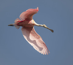 Roseate Spoonbill (Mawrter) Tags: staugustine staugustinealligatorfarm roseatespoonbill spoonbill shadow pink bird nature wild wildlife rookery florida saaf photocontest flight wings fly motion action sky blue avian nikon d5 500pf specanimal specanimalphotooftheday