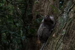 Monkeys (San.Mart) Tags: monkey animal selva morro urca
