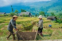 Mùa lúa chín ở Hà Giang (quynhchi19102016) Tags: ve may bay gia re di ha noi