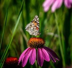 Lines & Dots (Portraying Life, LLC) Tags: da3004 hd14tc k1mkii michigan pentax ricoh topazaiclear unitedstates butterfly closecrop handheld nativelighting meadow coneflower wild nectar