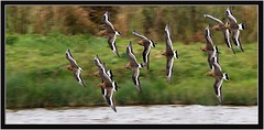 BLACK TAILED GODWITS (PHOTOGRAPHY STARTS WITH P.H.) Tags: south huish marsh devon nikon d500 500mm afs vr 14 teleconverter black tailed godwits