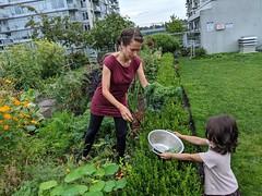 Picking Kale (Canadian Veggie) Tags: astrid emily garden kale