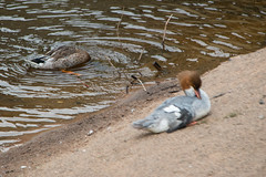 Female goosander preening (Dave_A_2007) Tags: mergusmerganser bird duck goosander nature wildlife bridgnorth shropshire england