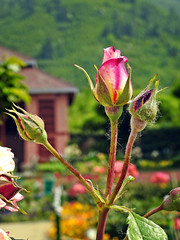 Something precious.... (Lopamudra !) Tags: lopamudra lopamudrabarman lopa kashmir kasmir himalaya himalayas srinagar jk india flora flower rose beauty beautiful pink