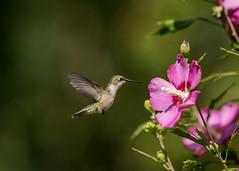 Flower Inspection (EHPett) Tags: rubythroated hummingbird flower flying feeding animal bird nature roseofsharon