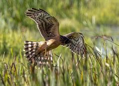 Northern Harrier (Circus cyaneus) (mesquakie8) Tags: bird hawk flyingandhunting hatchingyearmale northernharrier circuscyaneus noha horiconmarshnwr dodgecounty wisconsin 2230