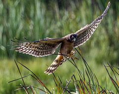 Northern Harrier (Circus cyaneus) (mesquakie8) Tags: bird hawk flyingandhunting hatchingyearmale northernharrier circuscyaneus noha horiconmarshnwr dodgecounty wisconsin 2212