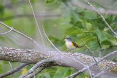 American Redstart (astro/nature guy) Tags: illinoisbird bird champaignbird robesonparkbird robesonpark warbler redstart americanredstart