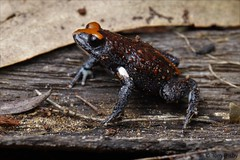 Red-crowned toadlet (Tom Frisby) Tags: frog frogs amphibians amphibian toadlet animal animals australia sydney wildlife