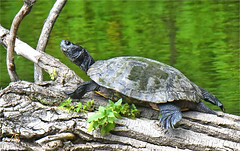 Big Turtle Basking In The Sun (Vidterry) Tags: turtle cedarriverbackwater nikond500 tamron150600mm 600mm 1500thf11 iso1000 ev23