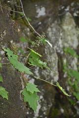Smoky Mountains NP | 2019.09.01 | DSC_0716 (Kaemattson) Tags: greatsmokymountainsnationalpark greatsmokymountains smokymountains blueridgemountains mountains appalachianmountains appalachiantrail tremontinstitute cadescove