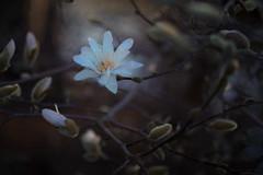 unfolding (birdcloud1) Tags: starmagnolia magnolia flower earlyspring nikcolorefex canoneos80d eos80d revuenon55mm14 shallowdepthoffield bokeh unfolding thesecretlifeofplants amandakeogh amandakeoghphotography birdcloud1 ahandfuloflight happilyfreefromfencesfriday