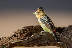 Crested Barbet (Trachyphonus vaillantii vaillantii) (Dave 2x) Tags: trachyphonusvaillantiivaillantii trachyphonusvaillantii trachyphonus vaillantii crestedbarbet crested barbet krugernationalpark kruger southafrica leastconcern