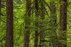 Giant Western Hemlocks in Federation Forest State Park (Lee Rentz) Tags: crystalmountain discoverpass emmonsglacier enumclaw generalfederationofwomensclubs mountrainier pacificnorthwest tsugaheterophylla washington washingtonstate westernhemlock whiteriver america bark big enchanting flora forest giant grove hemlock hiking horizontal huge interpretation landscape large lowlandforest massive natural naturalarea nature northamerica northwest oldgrowth outdoors paths pathways plant spiritual trails tree trees trunk usa walking westernwashington wild woods