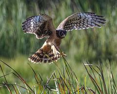 Northern Harrier (Circus cyaneus) (mesquakie8) Tags: bird hawk flyingandhunting hatchingyearmale northernharrier circuscyaneus noha horiconmarshnwr dodgecounty wisconsin 2113